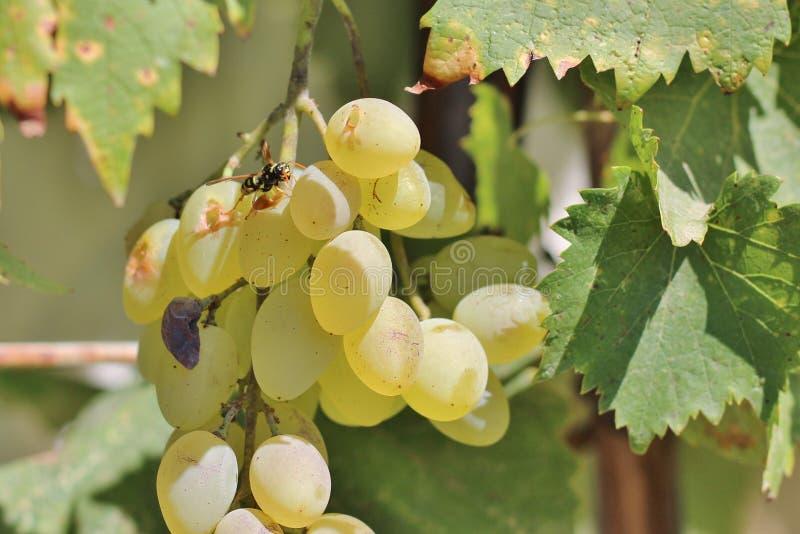 Оса на виноградинах стоковые изображения rf