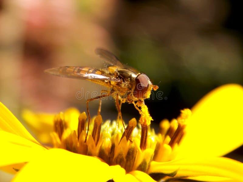 Оса на желтом цветке стоковое фото rf