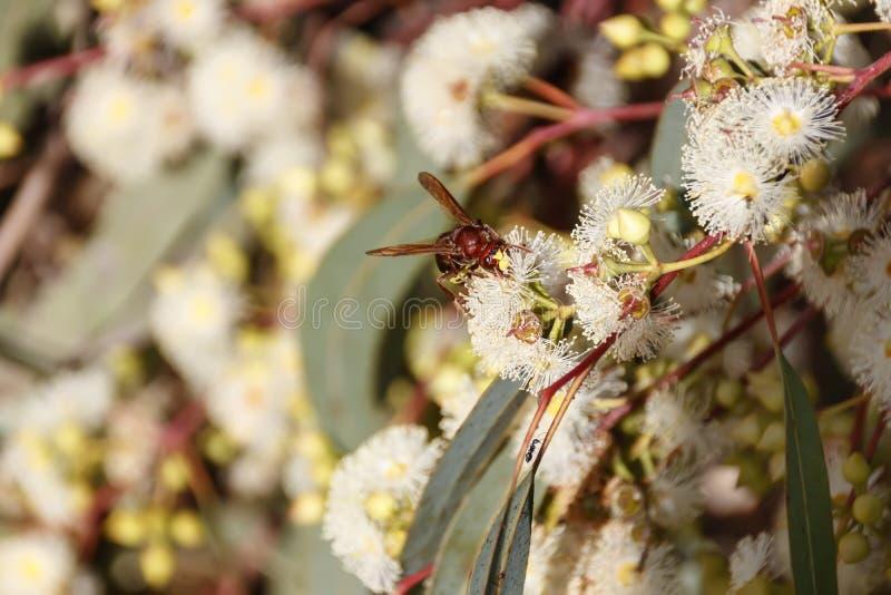 Оса на цветке евкалипта стоковые изображения