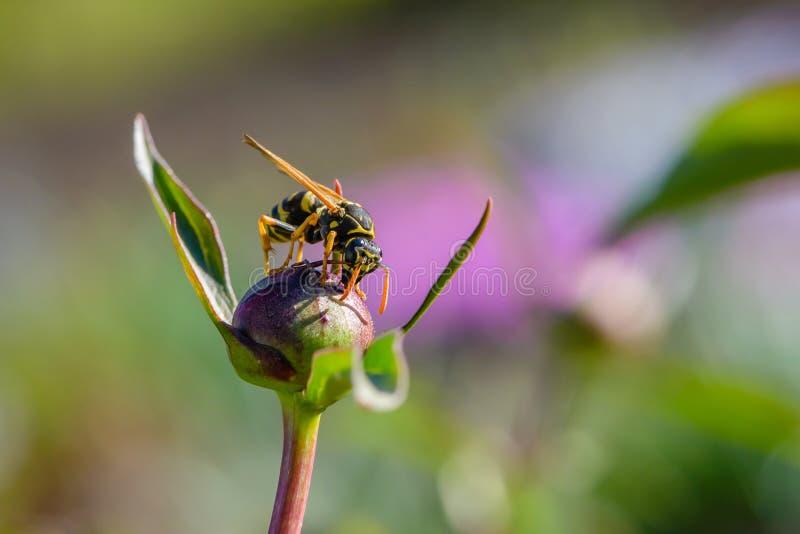 Оса собирает нектар на пионе стоковая фотография