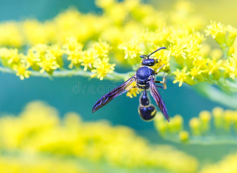Оса собирает нектар на цветках стоковое фото rf