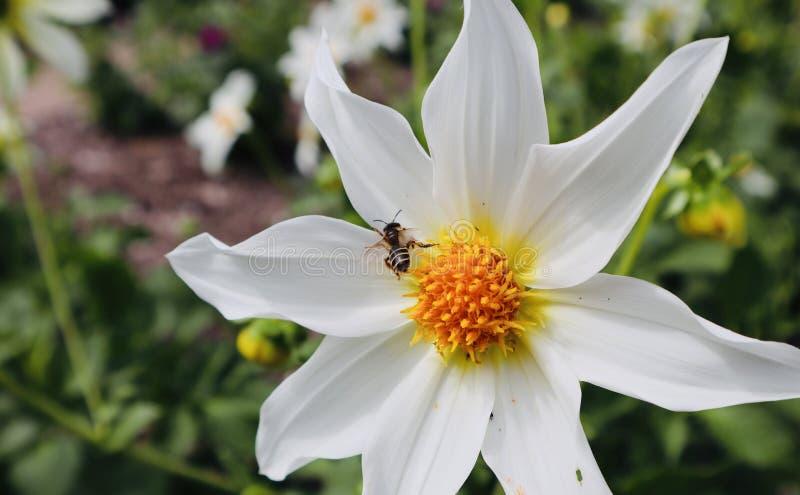Оса с белым желтым концом цветка стоковая фотография