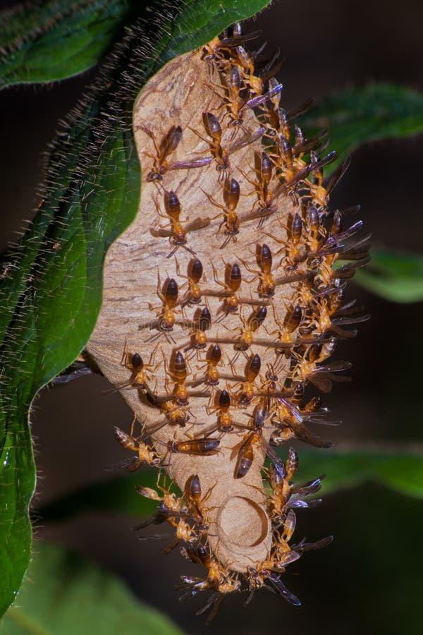 Оса - Angiopolybia стоковые фото