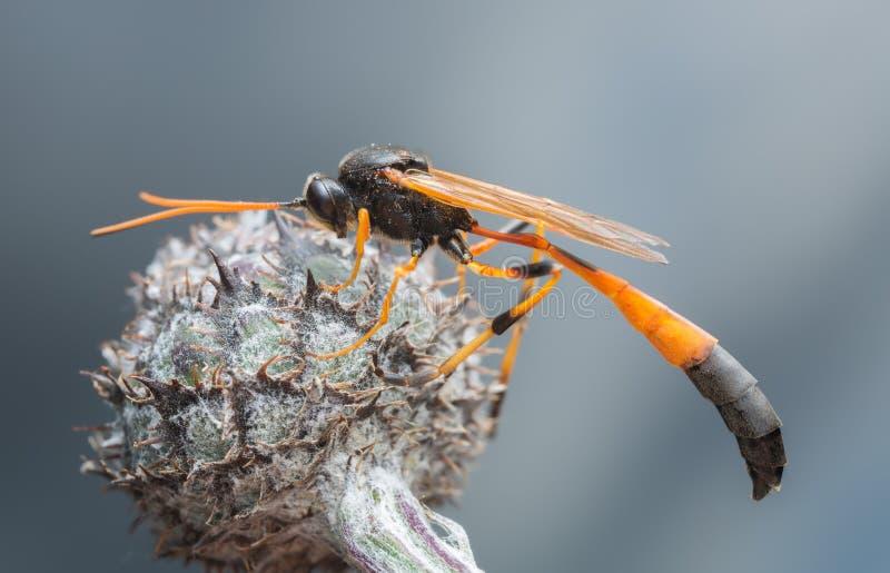 Оса Anomaloninae паразитная отдыхая на thistle стоковое изображение
