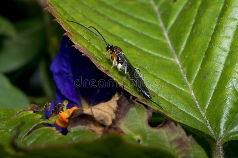 Оса Braconidae на лист стоковая фотография rf