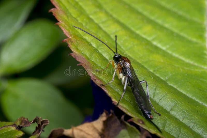 Оса Braconidae на лист стоковые изображения