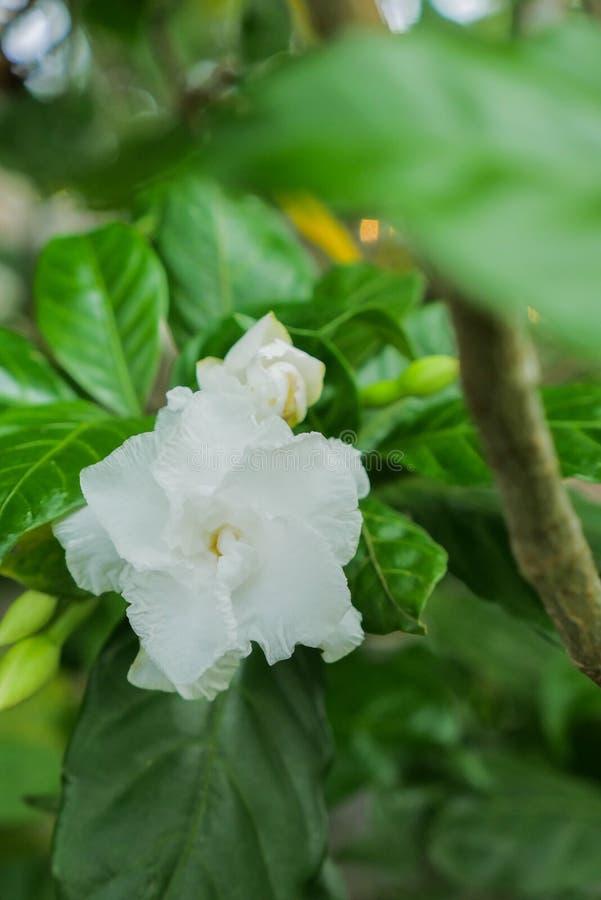 Освежите белый цветок жасмина стоковые изображения rf