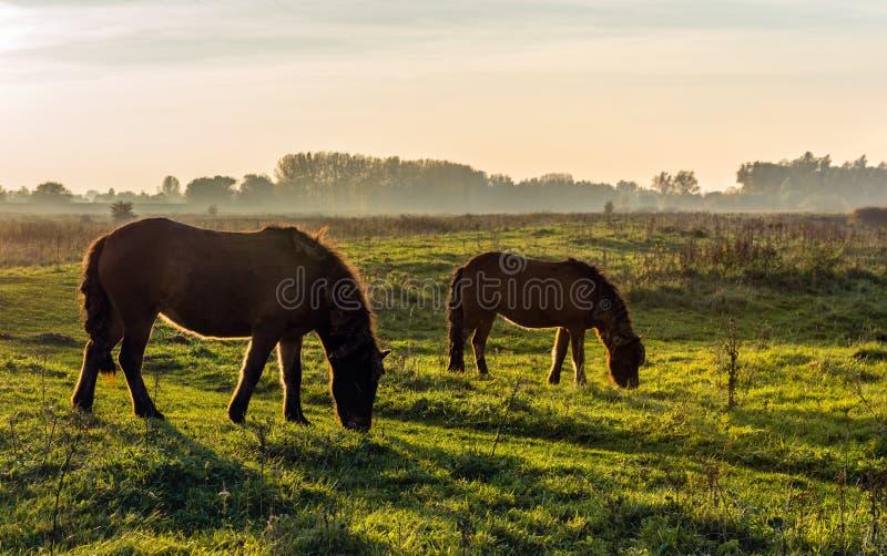 Осветите изображение контржурным светом 2 исландских лошадей на заходе солнца стоковое изображение rf