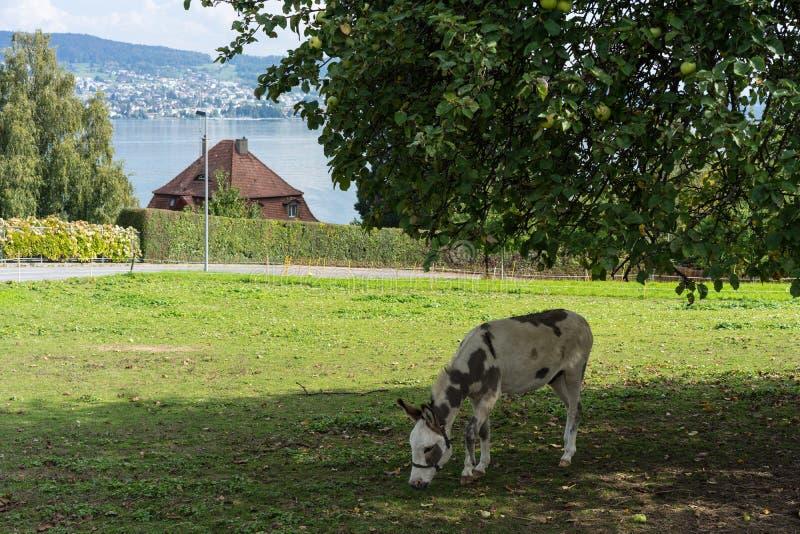 Осел есть яблоко под большим деревом на луге с предпосылкой озера в лете стоковое фото rf