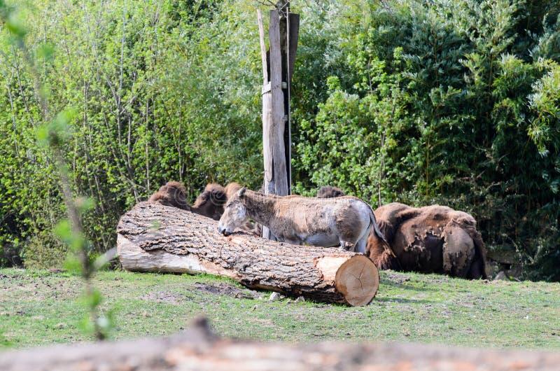 Осел около упаденного ствола дерева, чуть-чуть видимых верблюдов на заднем плане стоковое изображение