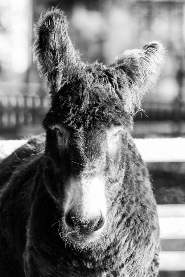 Осел снаружи с красивым светом, черно-белым стоковые фотографии rf