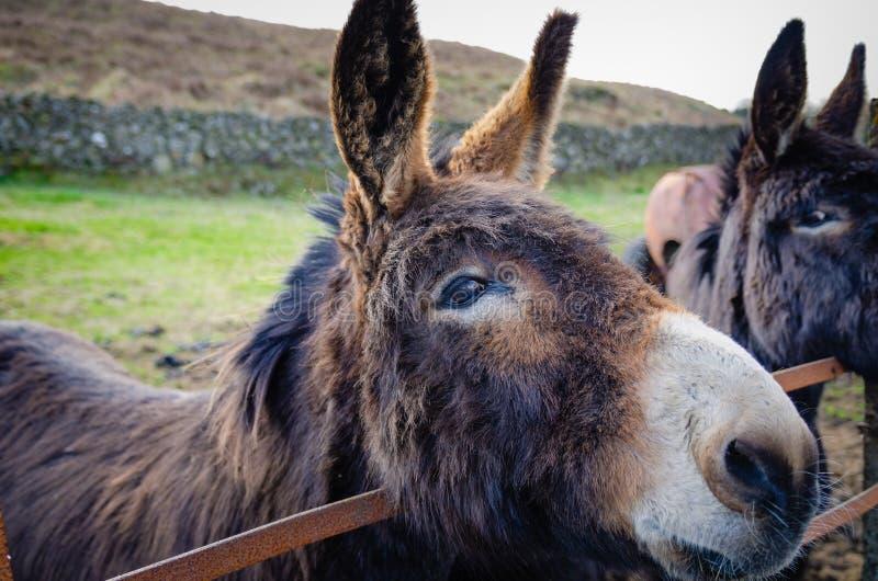 Осел также известный как, †«â€ ишака asinus africanus Equus «полагается ворот выгона и дается любопытный бортовой взгляд глаза  стоковые фото