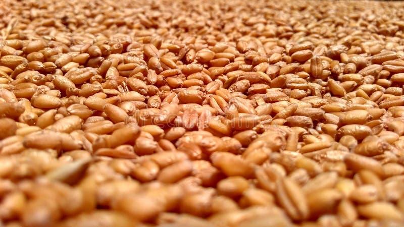 осеменяет пшеницу стоковое фото rf