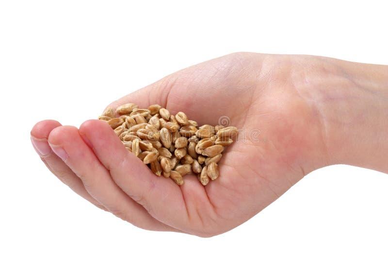 осеменяет пшеницу стоковое фото