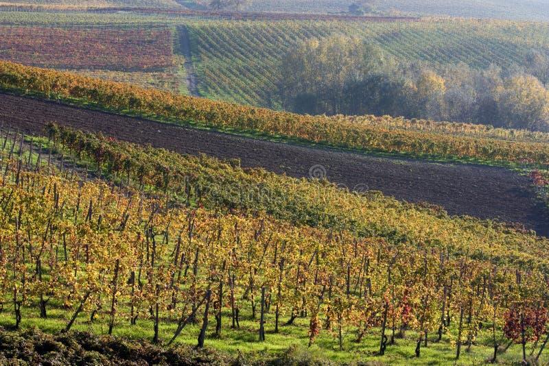 осенние виноградники стоковые фотографии rf