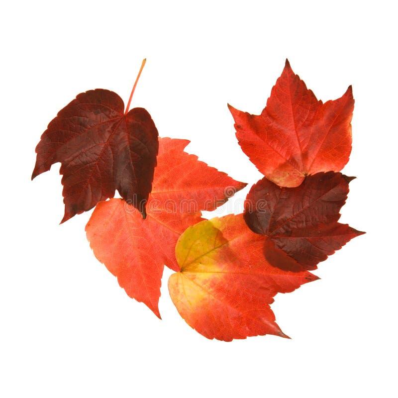 осенние красивейшие цветастые листья виноградины одичалые стоковые фото