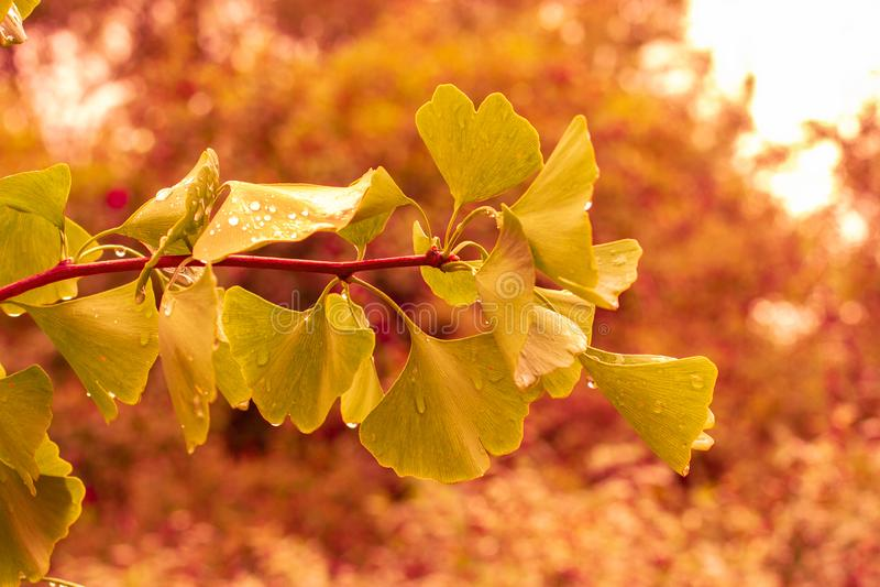 осенние листья джинкго билоба, свежей естественной ветки с красивыми вырезанными листьями джинкго дерева. стоковая фотография rf