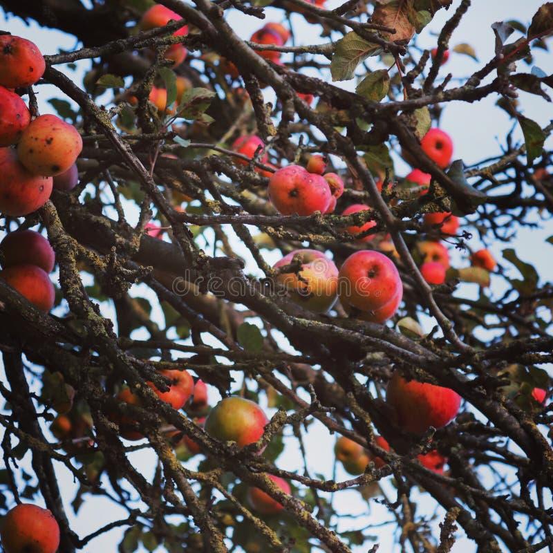 Осенняя яблоня стоковое изображение rf
