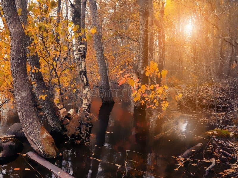 Осень в затопленном лесе на заходе солнца стоковое изображение rf