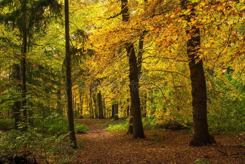 Осень в лесе - herfstlicht DeLIGHTfull Geel в быке het стоковые фото