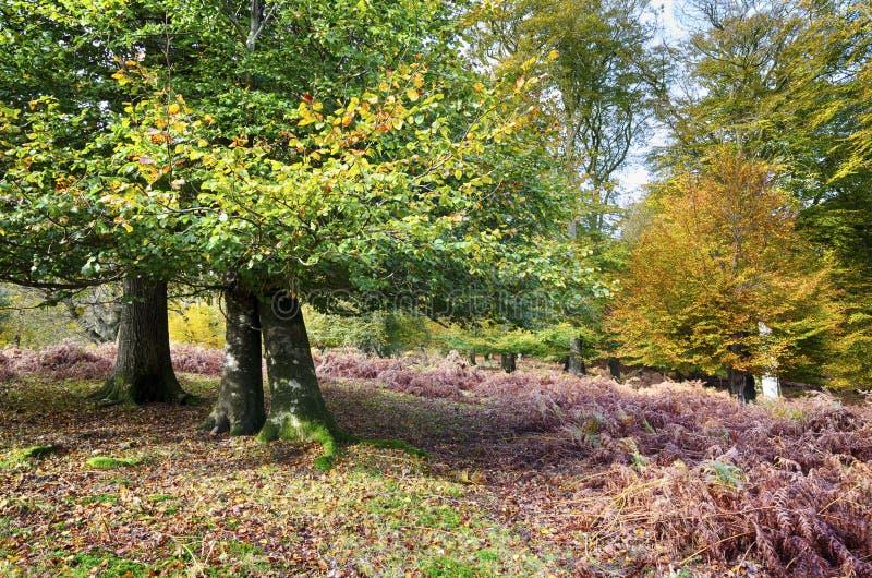 Осень в новом лесе стоковое фото rf