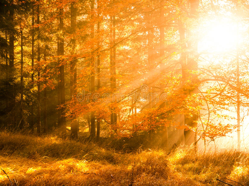 Осень в пейзаже леса бука красивом теплом с первым солнцем утра излучает в туманном осеннем лесе стоковое изображение rf