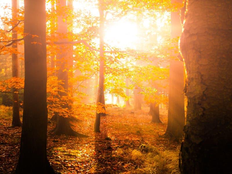 Осень в пейзаже леса бука красивом теплом с первым солнцем утра излучает в туманном осеннем лесе стоковые изображения rf