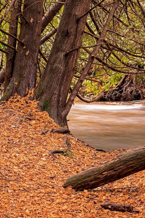 Осень в роще кедра стоковая фотография rf