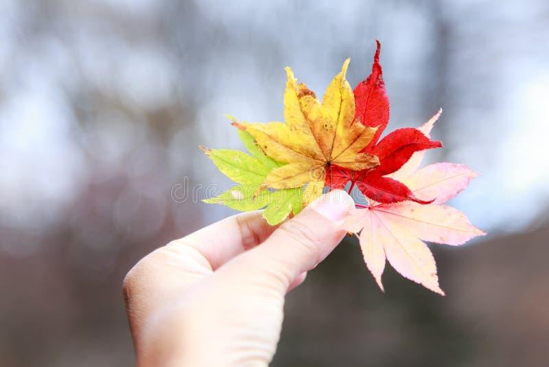 Осень в Японии, кленовых листах стоковое фото