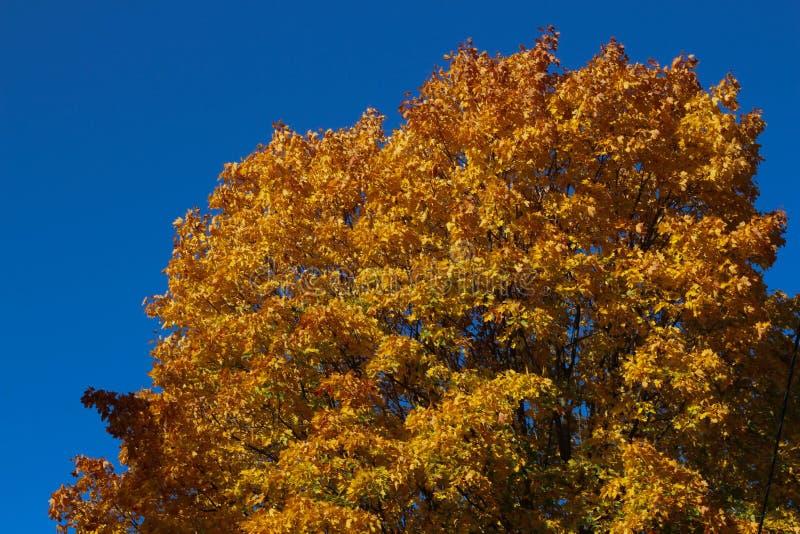 Осень желтая и красные кленовые листы помещенные как рамка против предпосылки голубого неба стоковые изображения