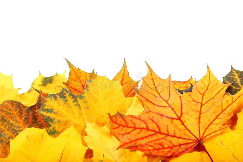 Осень желтая и красный цвет выходят на белую предпосылку стоковые изображения