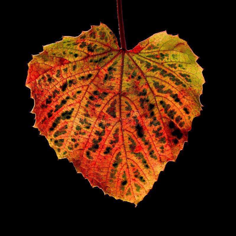 Осень лист лозы стоковая фотография rf
