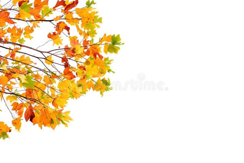 Осень покрасила листья изолированный на белизне стоковая фотография rf