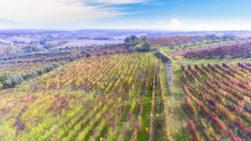 Осень, сбор Aglianico del Хищника холмов Lucan стоковое фото rf