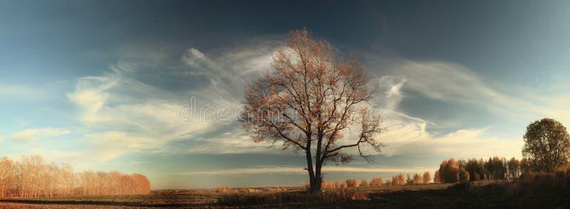 Осень, сиротливый дуб в поле стоковые фотографии rf