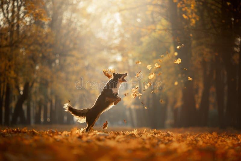 Осень собаки на природе активный любимец в парке Желтое листво стоковые фото
