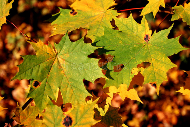 осень спелая стоковые фотографии rf