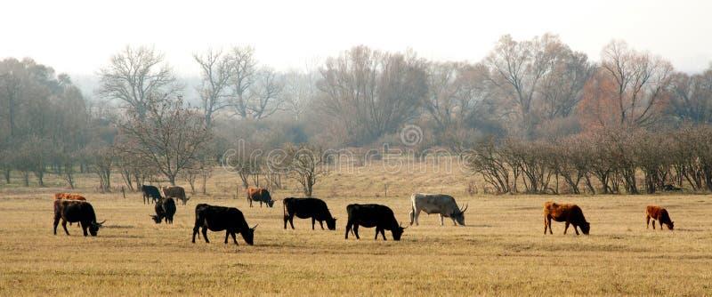 осень cows лужок стоковое фото rf