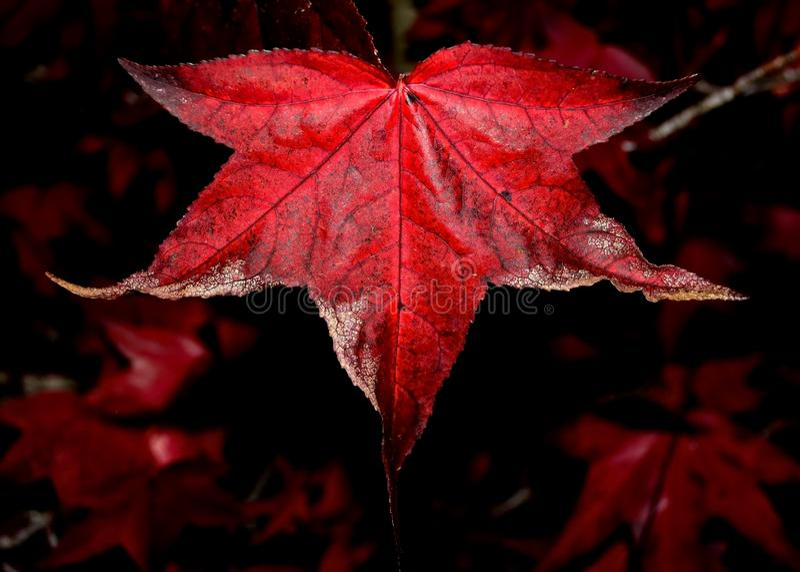 Осень Liquidambar стоковая фотография