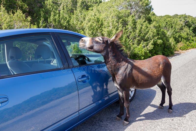 Осел Curius одичалый причаливает голубому автомобилю около Apostolos Andreas, k стоковое фото
