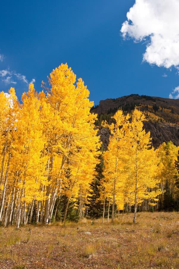 Осины Колорадо стоковые фото