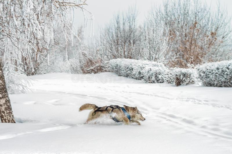 Осиплая собака бежать через глубокий снег стоковое фото rf