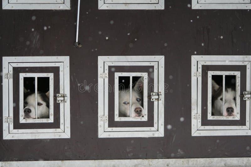 Осиплые собаки в клетке стоковая фотография rf
