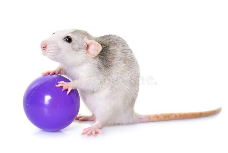 Осиплая крыса с игрушкой стоковое фото rf