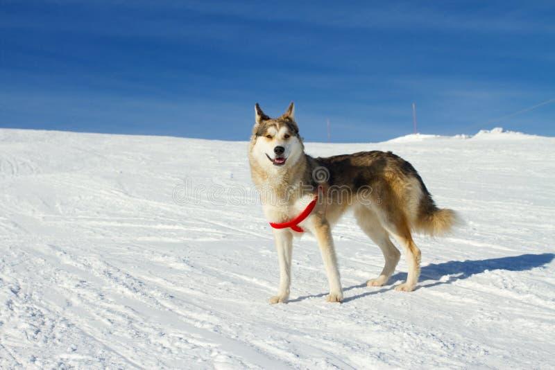 Осиплая собака в снеге стоковое фото rf