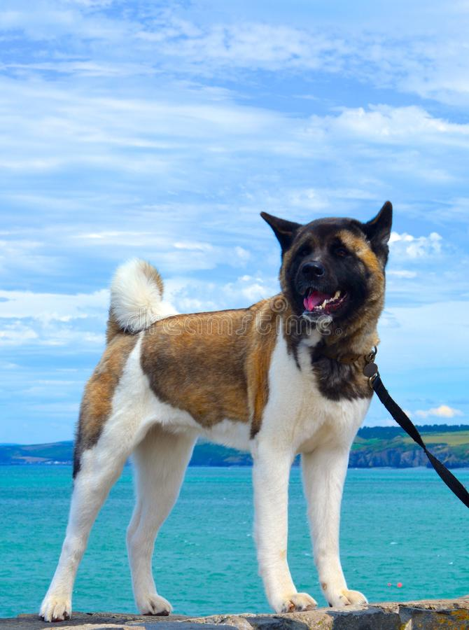 Осиплая собака на пляже стоковое фото rf