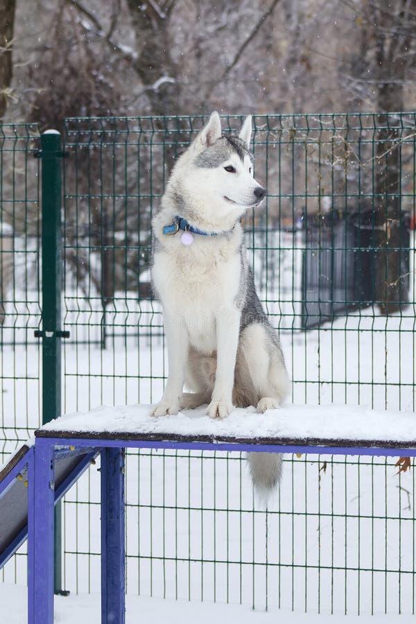 Осиплая собака сидя в спортивной площадке собаки стоковое изображение rf