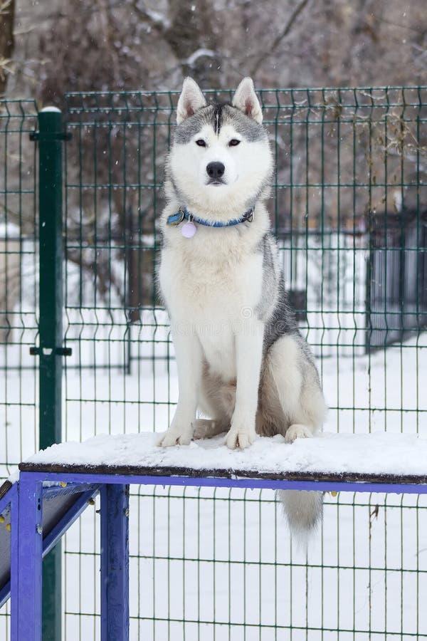 Осиплая собака сидя в спортивной площадке собаки стоковое фото rf