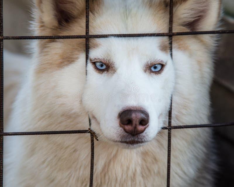 Осиплая собака стоковое изображение