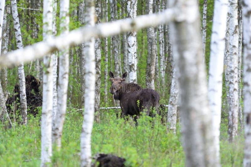 лоси Лось лосей Bull евроазиатский в сцене живой природы леса березы от Беларуси Лоси, стоя в траве среди леса березы стоковые изображения rf